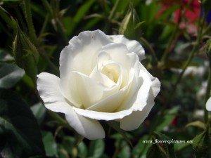 un fiore ed una preghiera pere i bambini - e gli adulti - morti a New Town dans immagini sacre white-rose_35-300x225