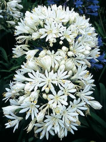 agapanthus-white-heaven-two-open-flowers.i-6390.s-24125.r-01