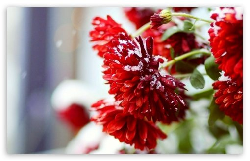 snow_over_red_flowers-t2 - Copia - Copia